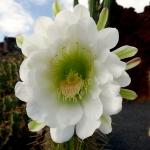 cactus_15