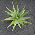 cactus_35