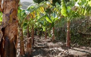 Bananeraie de montagne